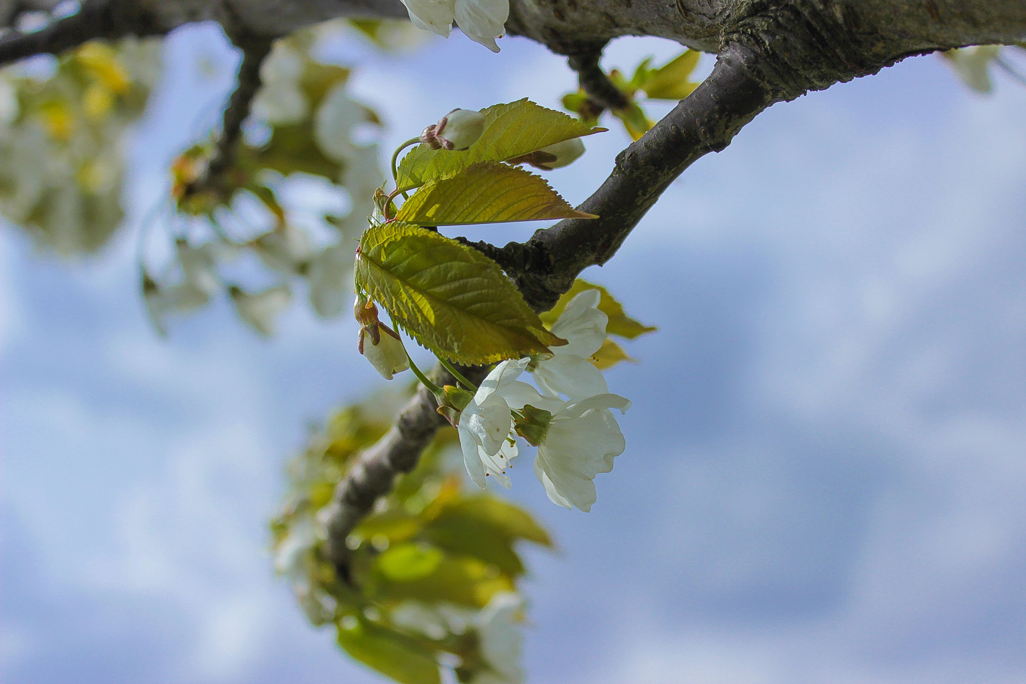 apple blossom, appel bloesem