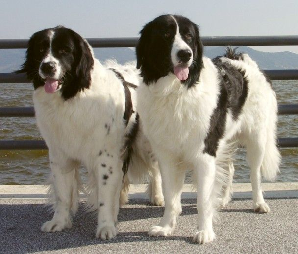 Landseer The Breed Was Named After The British Painter Sir Edwin