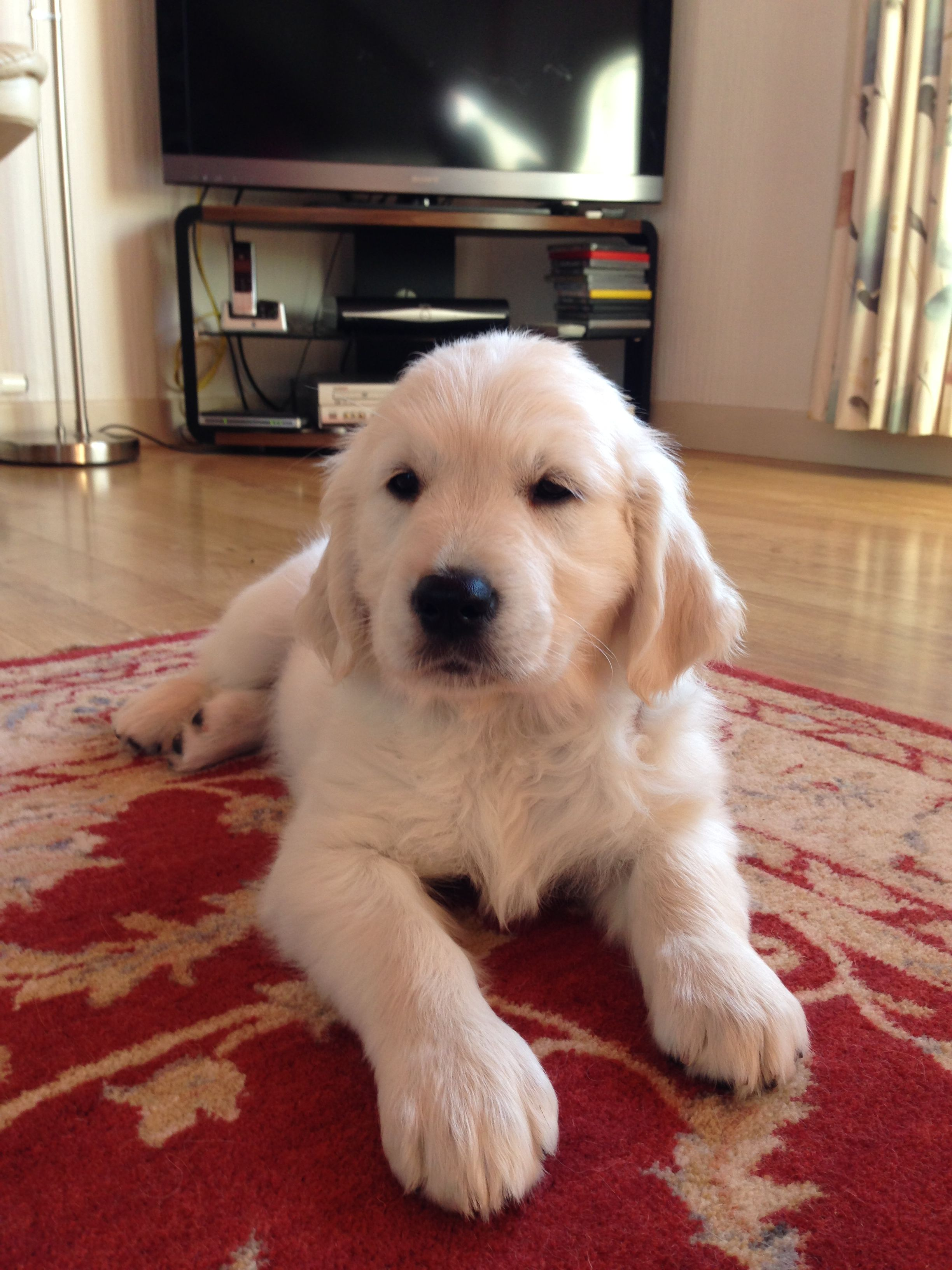 Bailey At 3 Months Beautiful Puppy Puppies Cute Puppy Breeds
