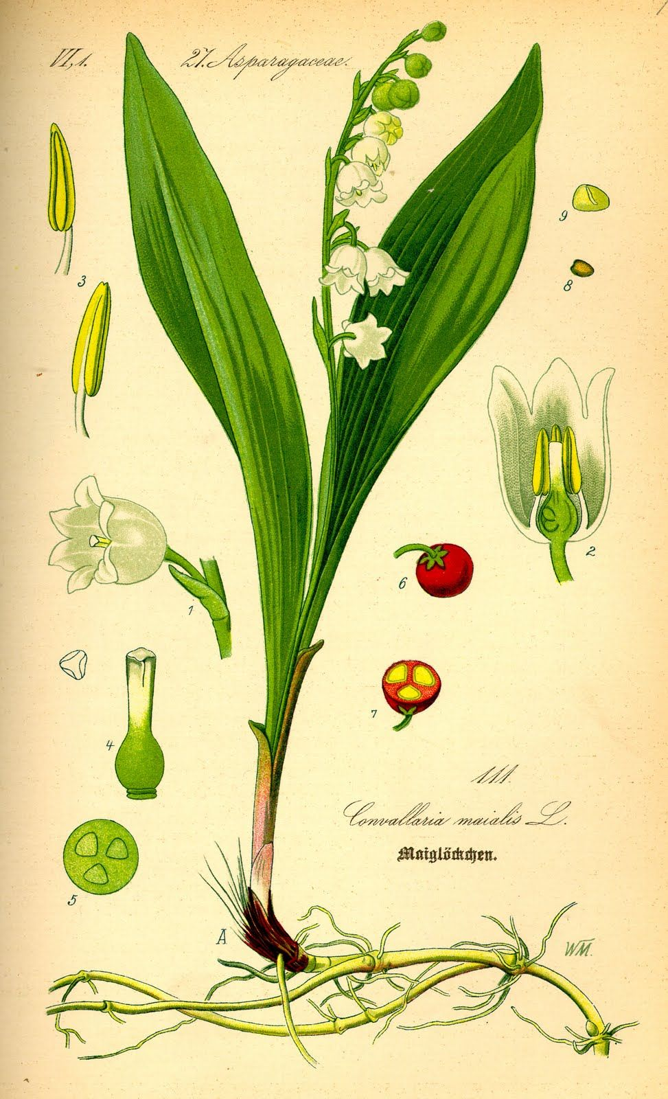 vintage lily of the valley diagram  the red and green together