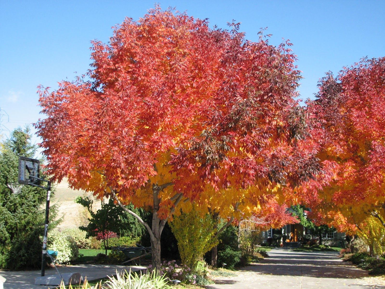Autumn Purple Ash All Over Ft Collins And They Have Beautiful Fall Colors Plants Planting Flowers Fall Purple