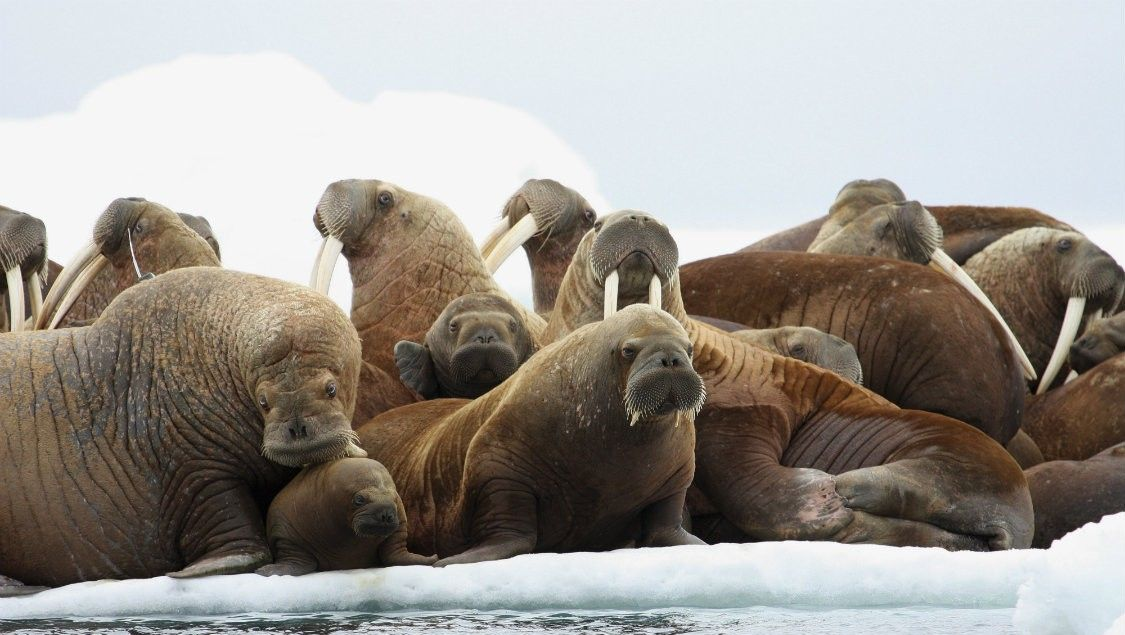 An oil spill in the Chukchi Sea could be devastating to