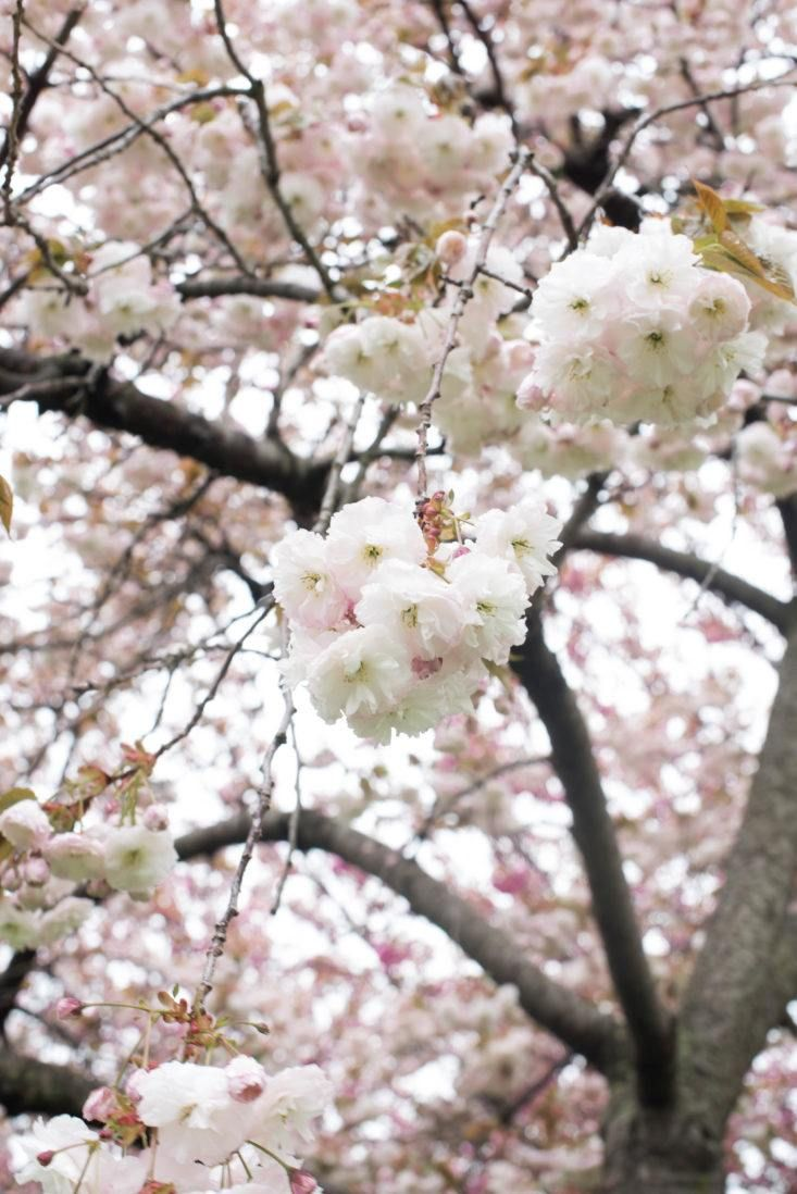 Cherry Blossoms 6 Flowering Trees To Grow At Home Gardenista Pink Flowering Trees White Blossom Tree Flowering Trees