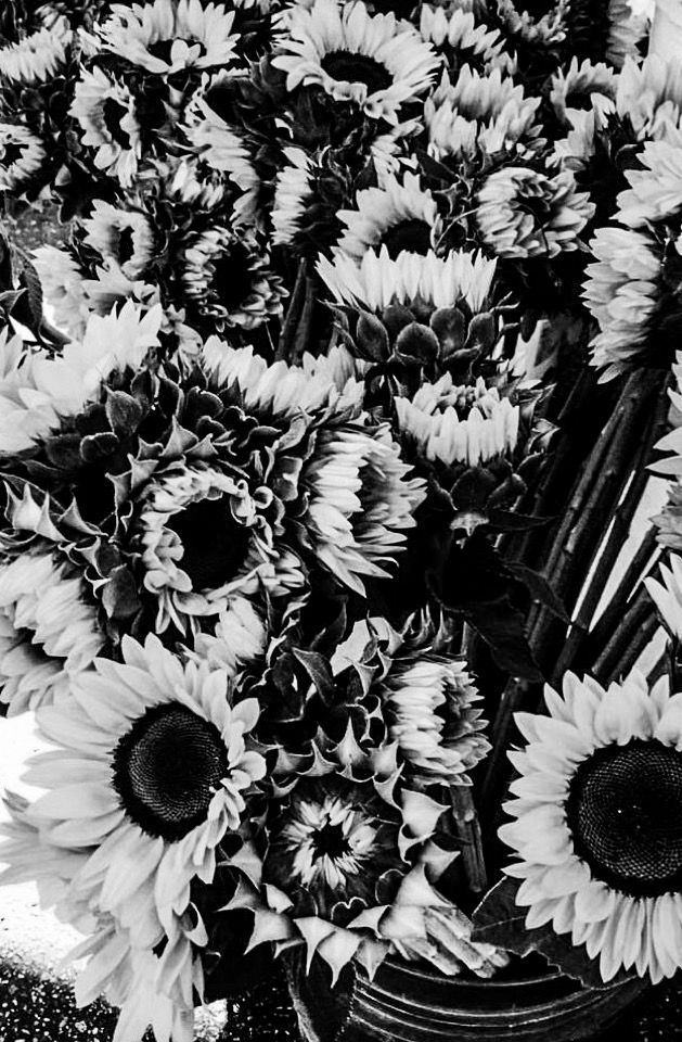 sunflower wallpaper in black and white b w uploaded by