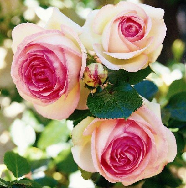eden rose 85 shrub roses meilland 1985 cottage gardens pinterest rose. Black Bedroom Furniture Sets. Home Design Ideas
