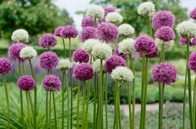 Flower Garden Bulb And Perennial Designs For Amazing Spring Gardens Get Busy Gardening Allium Flowers Bulb Flowers White Flower Farm