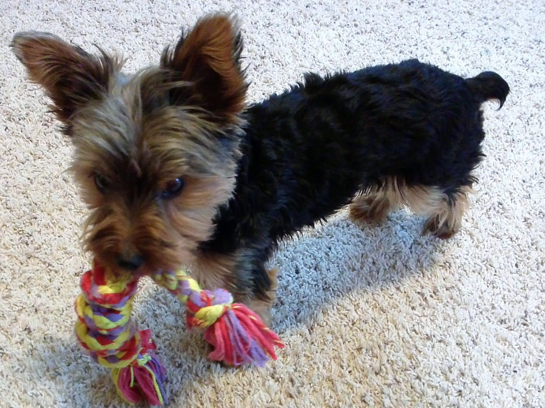 Bailey Our 9 Month Old Yorkie Boy Yorkie 9 Month Olds Dogs