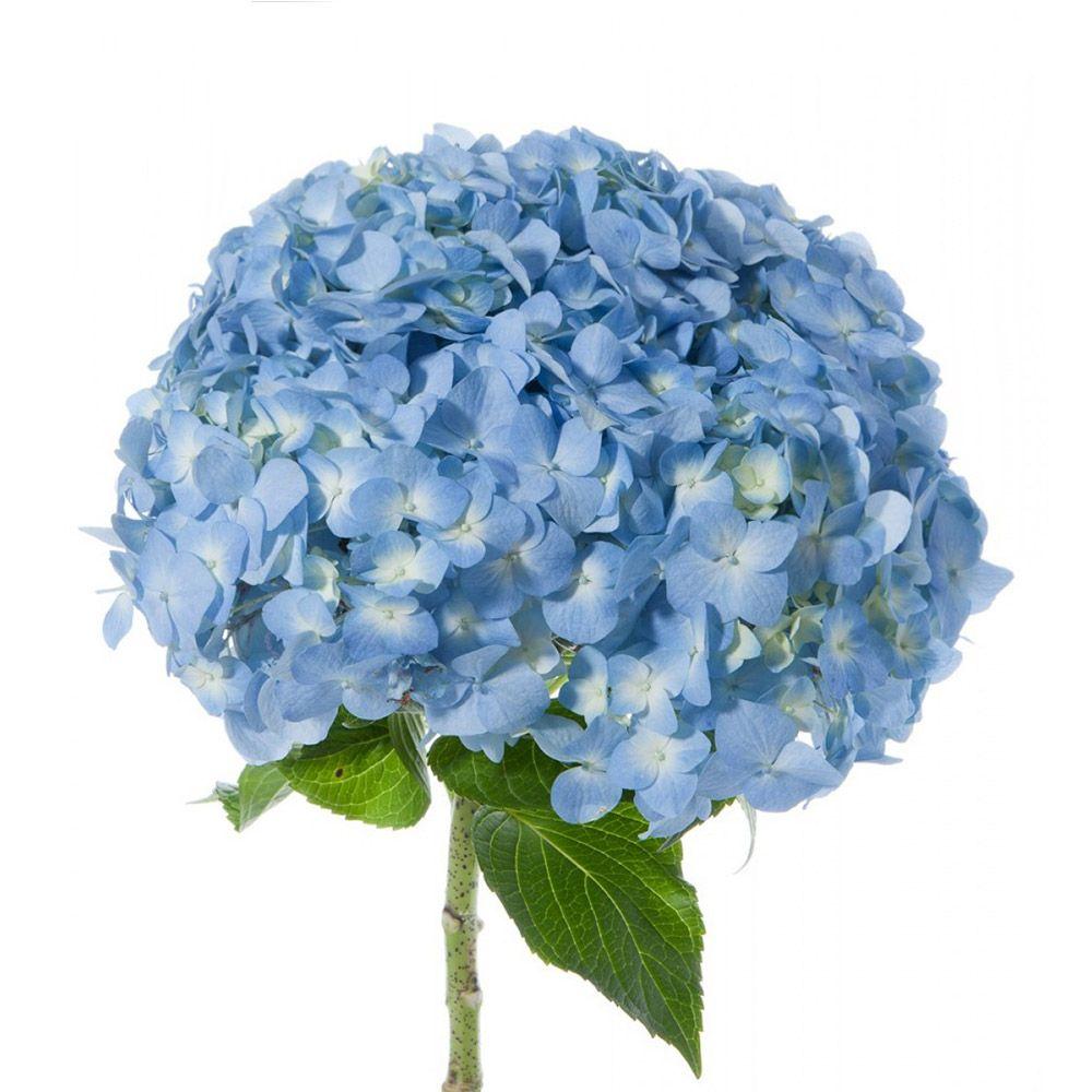 Blue Hydrangeas In Bulks Farm Direct Magnaflor Blue Hydrangea Types Of Flowers Types Of Hydrangeas