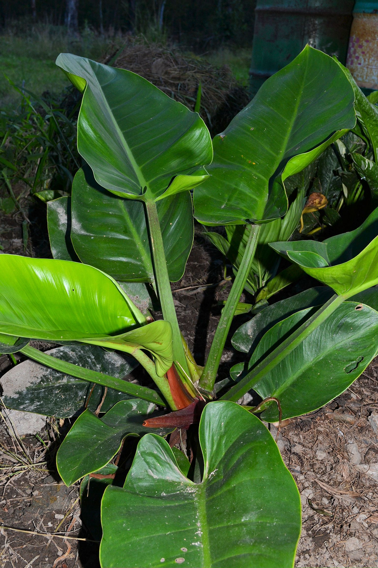 Philodendron Imperial Green plant Plants, Unusual plants