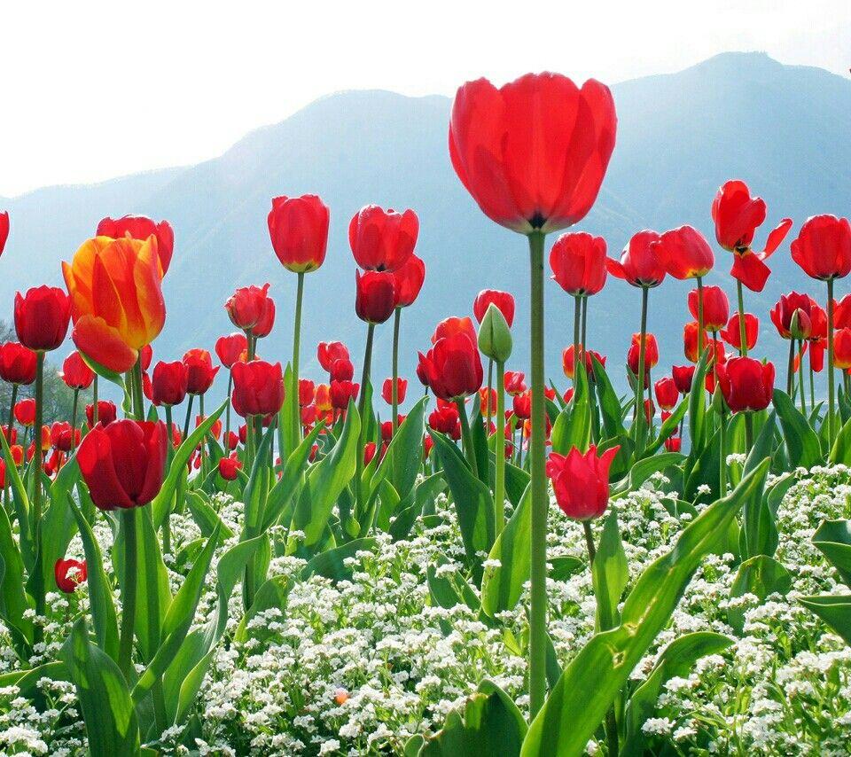 Paisaje Tulipanes Rojos | Flores tulipanes, Papel pintado flores, Campo de  flores