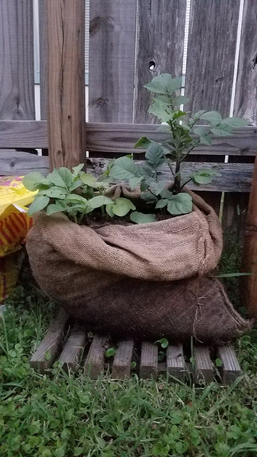 Growing Potatoes in a Potato sack or Burlap bag is easy