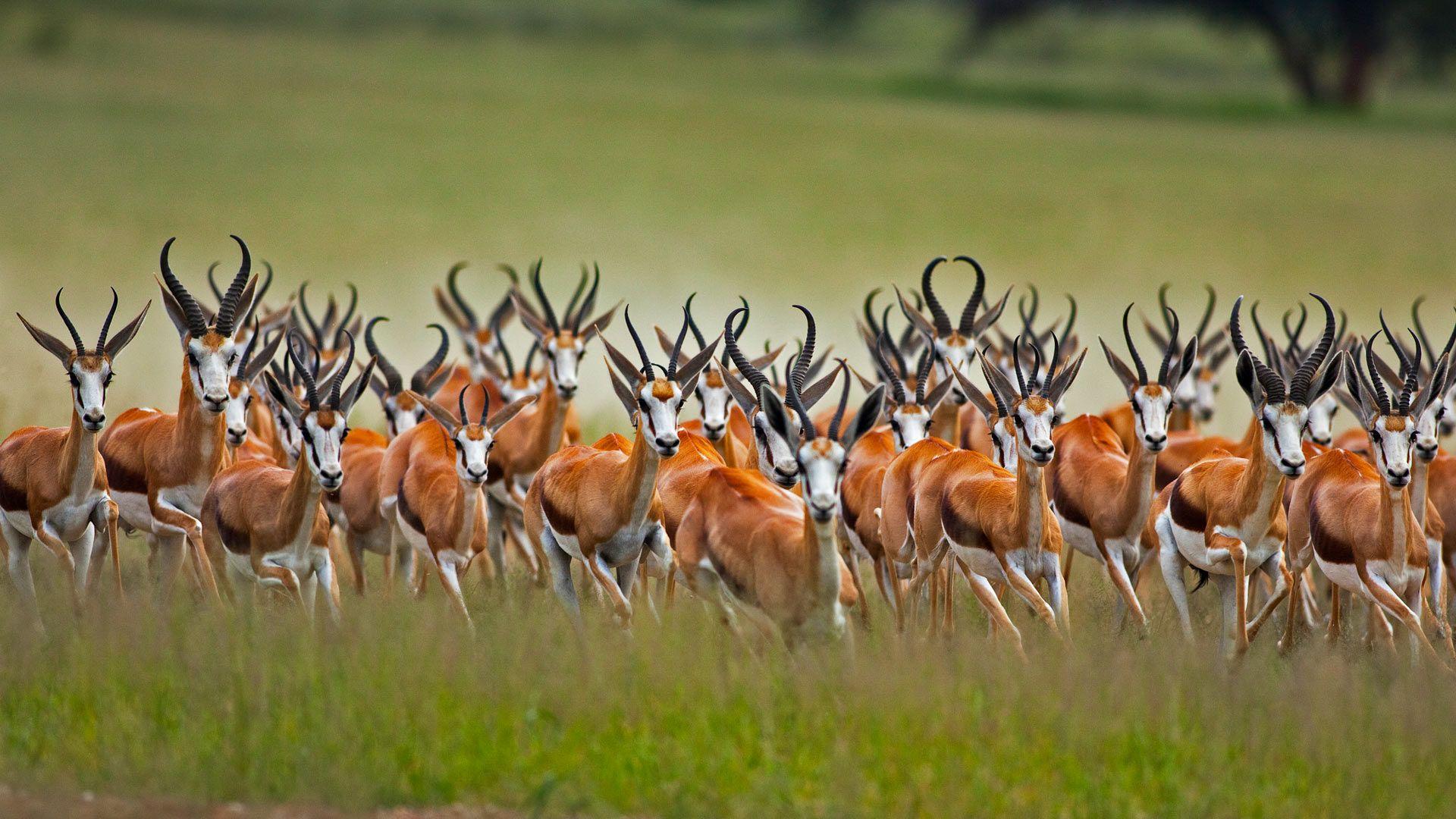 Horn Minden a herd of springboks in the kalahari region of south africa