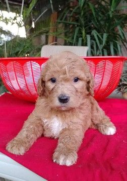 Litter Of 8 Labradoodle Puppies For Sale In Fresno Ca Adn 42423