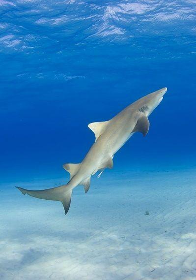 Citroenhaai Lemonshark Shark Pictures Shark Fishing Shark