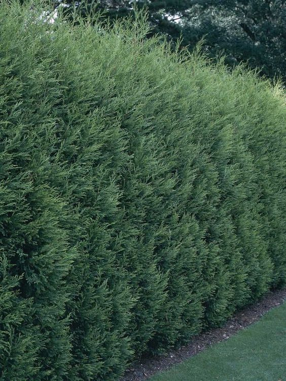 Planting Leland Cypress Fast Growing Widely Used For Screens Would Be Good For The Chain
