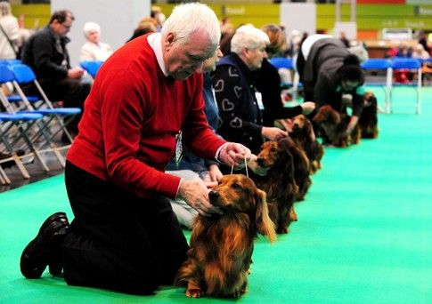 Long Haired Dachshunds During Judging At Crufts 2013 Dogs Long