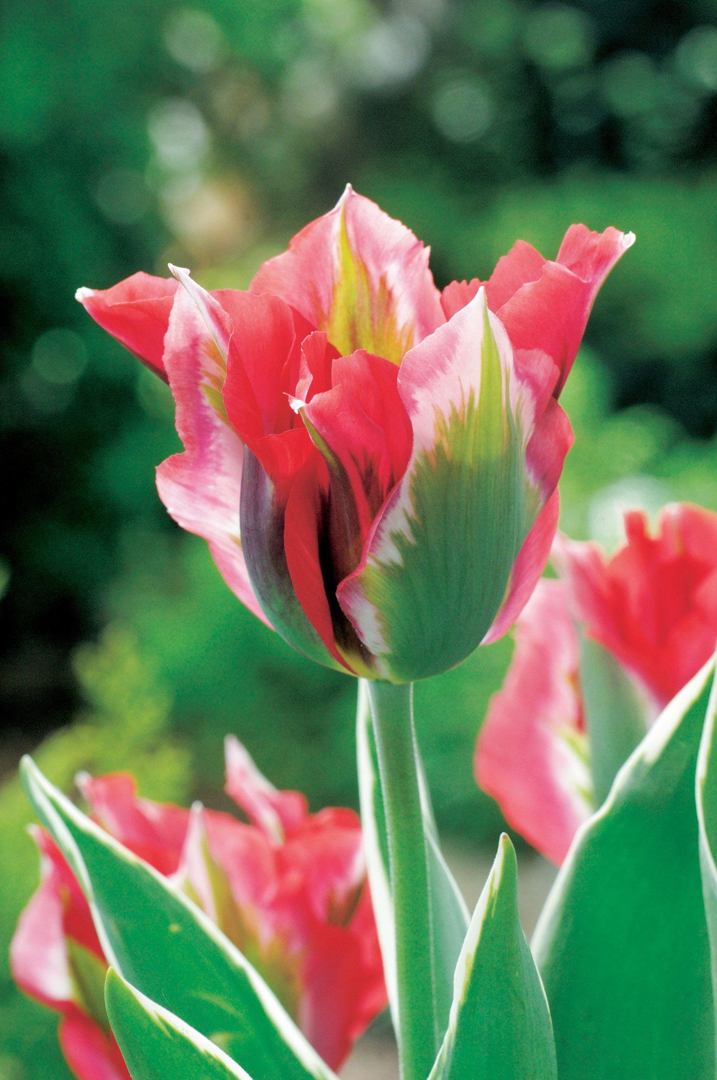 Unique Tulip Varieties Create A Stunning Garden Tulip Flower Pictures Tulips Beautiful Flowers