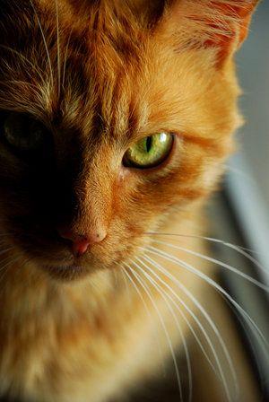 Warriors Den Sunclan Orange Tabby Cats Evil Cat Cats