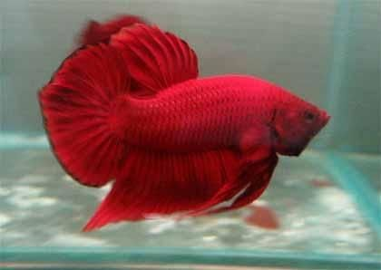 These Are The Most Common Types Of Betta Fish Plakat Betta Closely Related To The Traditional Fighting Betta The Plakat Betta Is Easil Betta Fish Betta Fish