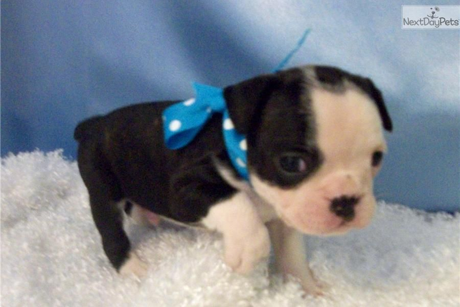 Meet Frenchton A Cute French Bulldog Puppy For Sale For 800