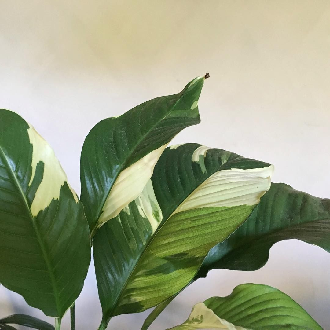 Spathiphyllum Picasso Peace Lily Plants Spathiphyllum
