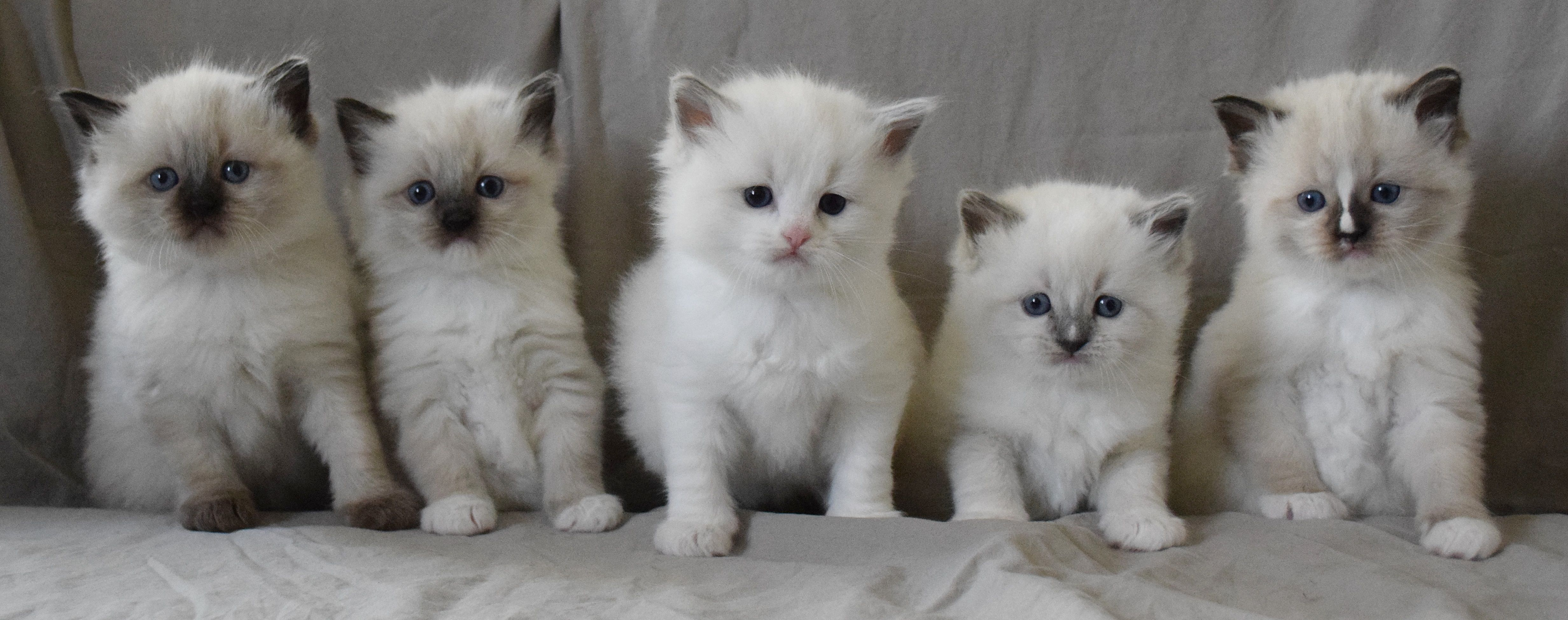 Some Of Our Lovely Babies Ohemgee Cats Cat Fluffycat Ragdolls Ragdoll Kittens Blueragdoll Bluepoint Blueeyes Ragdoll Kitten Fluffy Cat Cool Cats