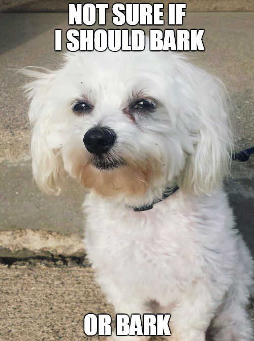 38 Scrappy Memes For Small Dog Lovers Lovely Animals World Dog Lovers Dog Memes Angry Dog