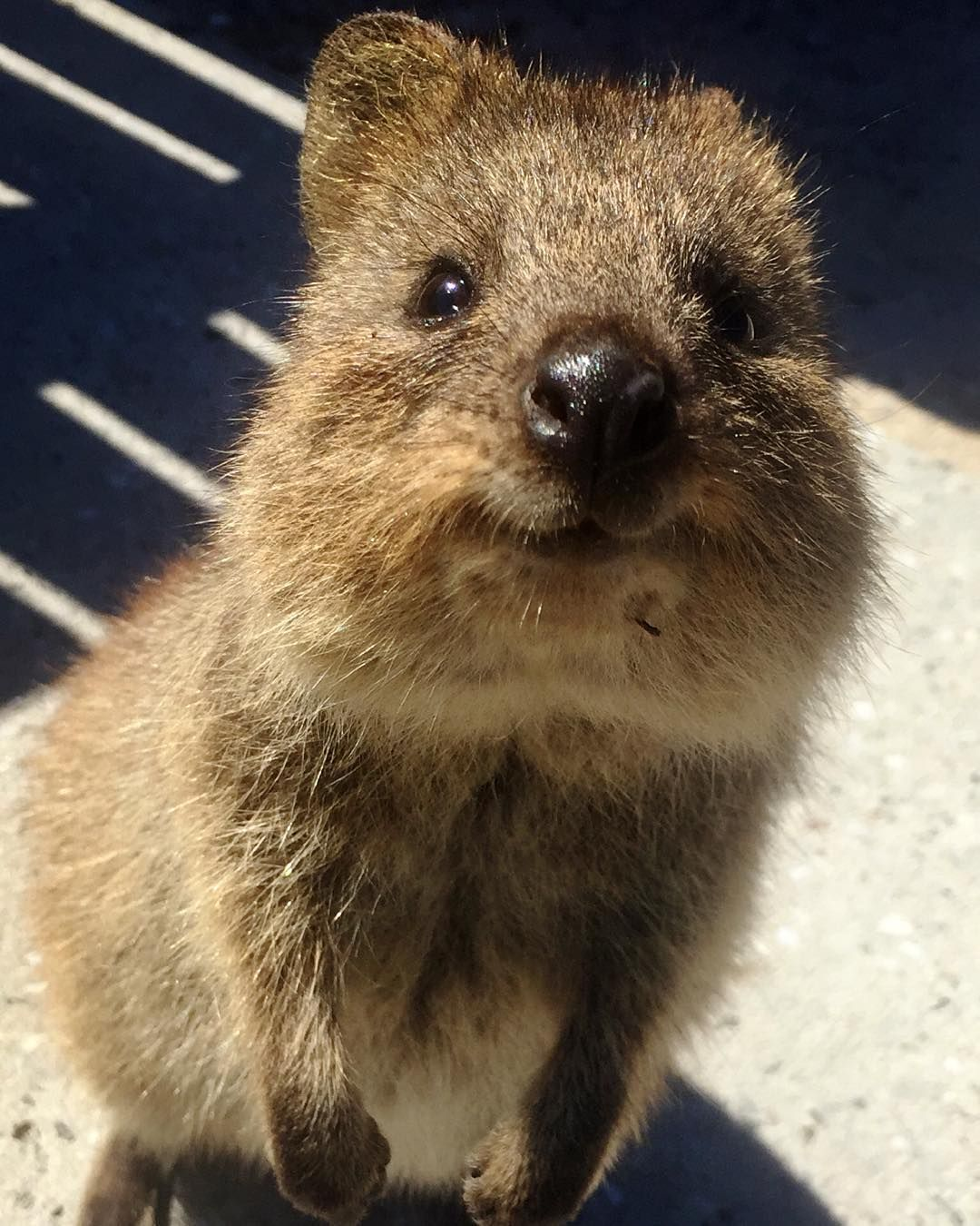 Pin by Charlie on Australian Animals Quokka, Australian