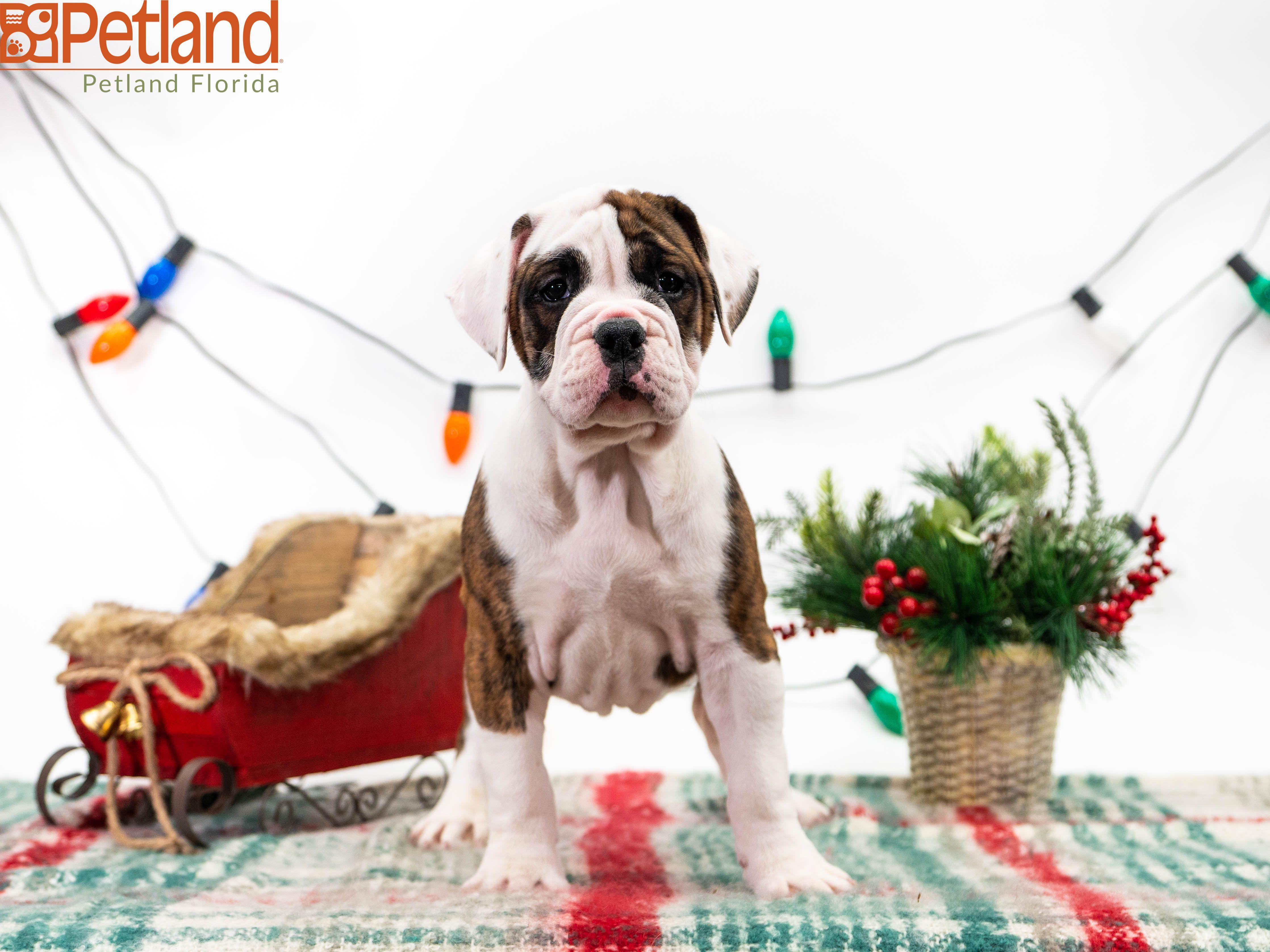 Available Puppies Bulldog Puppies Cute Puppies Puppies