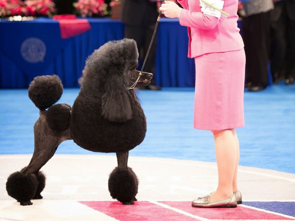 Westminster Kennel Club Show Top 5 Dogs To Look Out For