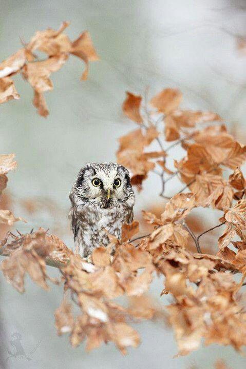 Boreal Owl by Jiri Michal.