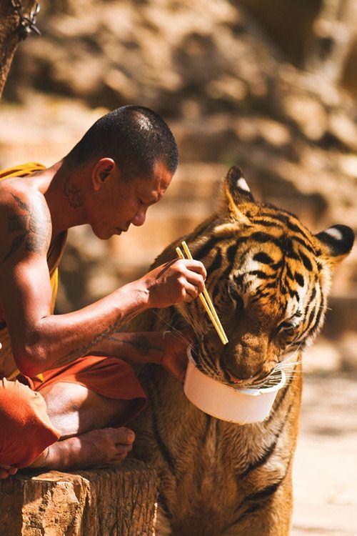 Monk and Tiger sharing their meal - By: Wojtek Kalka