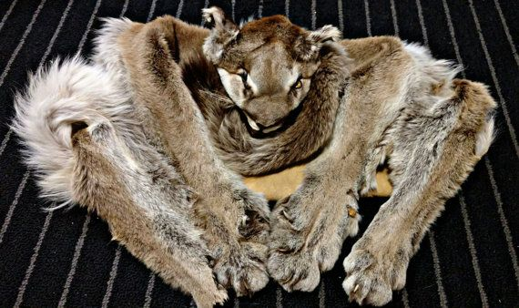 Check out this item in my Etsy shop https://www.etsy.com/listing/502445787/mountain-lion-pelt-rug-taxidermy