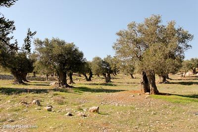 Olive trees were even more abundant in biblical times than they are in Israel today. Olive trees can grow on the plain and in the hills. They grow in Galilee, Samaria, and Judah. The Garden of Gethsemane, located at the base of the Mount of Olives in Jerusalem, was likely an orchard of olive trees since gethsemane means oil press.