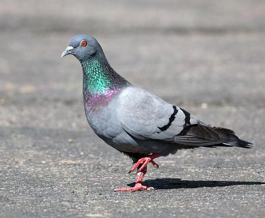Rock Pigeon Columba Livia L 37 Cm Europe Pigeon Breeds Beautiful Birds Pigeon