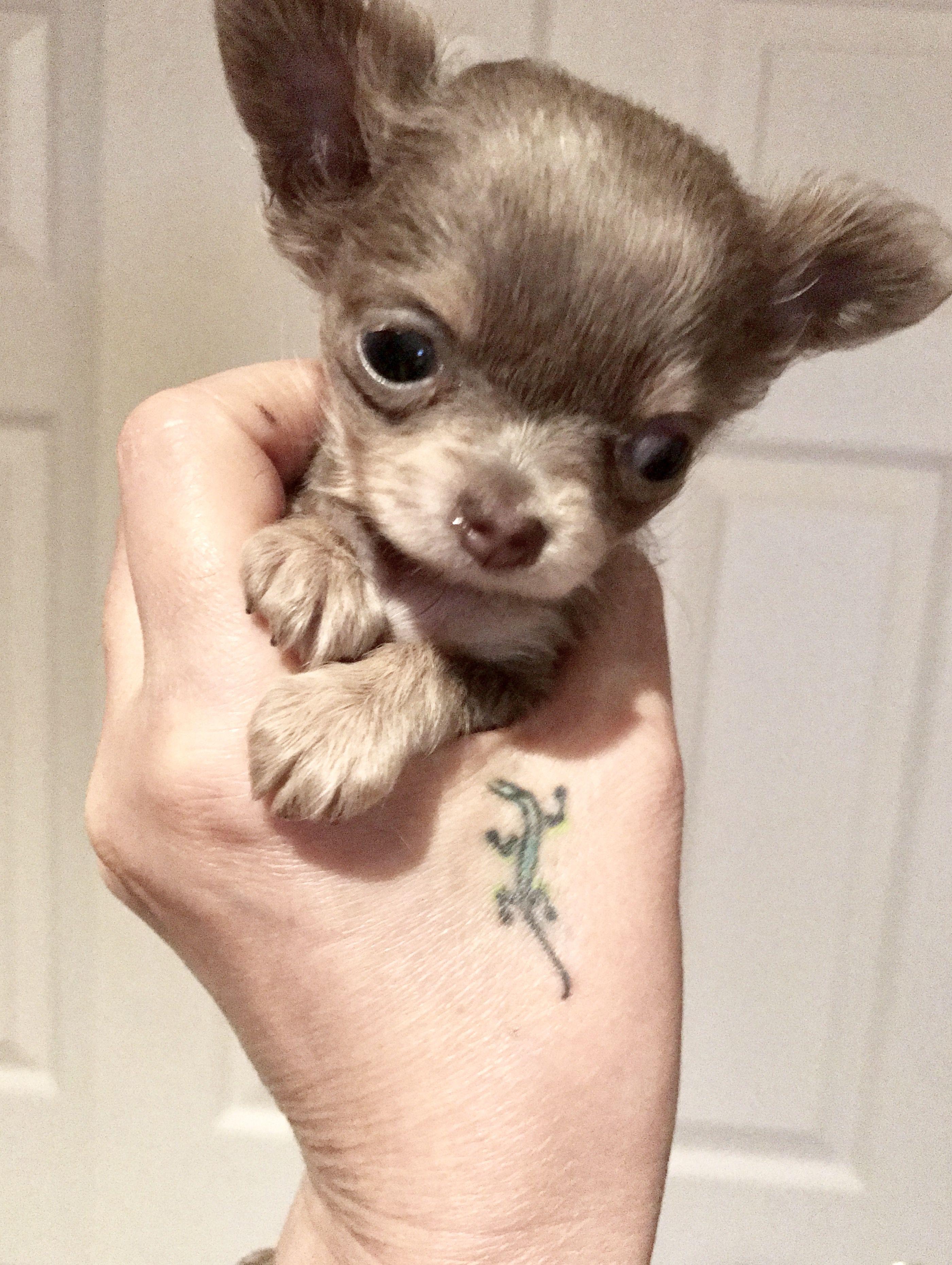 Pin By Las Vegas Tiny Chihuahua On Blue Chihuahua Chihuahua