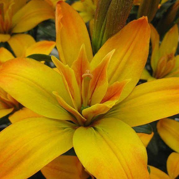 Светсад - коллекция цветов Светланы Глухих