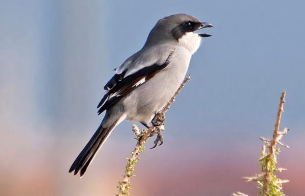 Http Memelihara Com Burung Pentet Html Birds Animals