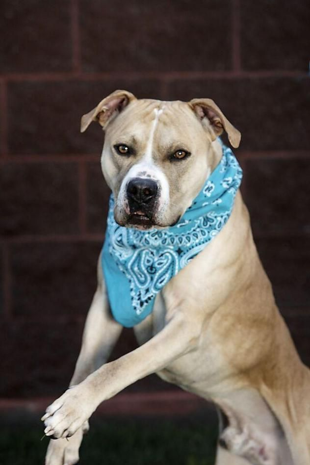 Adopt Shiloh on Pitbull terrier, Shiloh, Boxer mix
