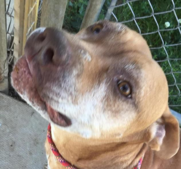 ADOPTED - Kennel # 20  - URGENT - LORAIN COUNTY DOG KENNEL in Elyria, Ohio - ADOPT OR FOSTER - Adult Male Lab Retriever Mix