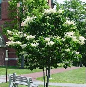 Japanese Tree Lilac 25ft Zone 3 7 Rounded Form And Spreading Growth Very Fragrant White Flowers Mid June About 1 Lilac Tree White Lilac Tree Japanese Tree