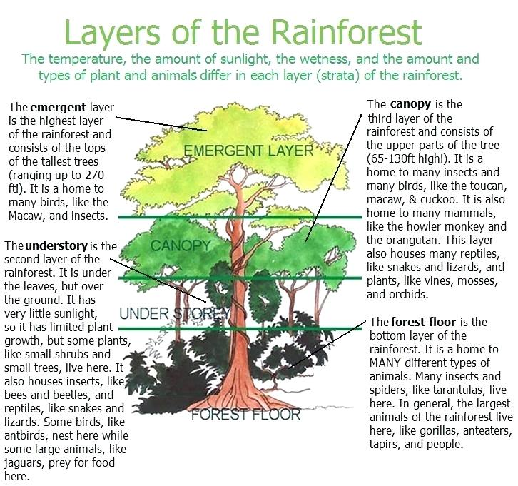 Rainforest Layers Worksheet Layers Of The Amazon Rainforest Layers Worksheet Rainforest Activities Rainforest Project Rainforest Classroom