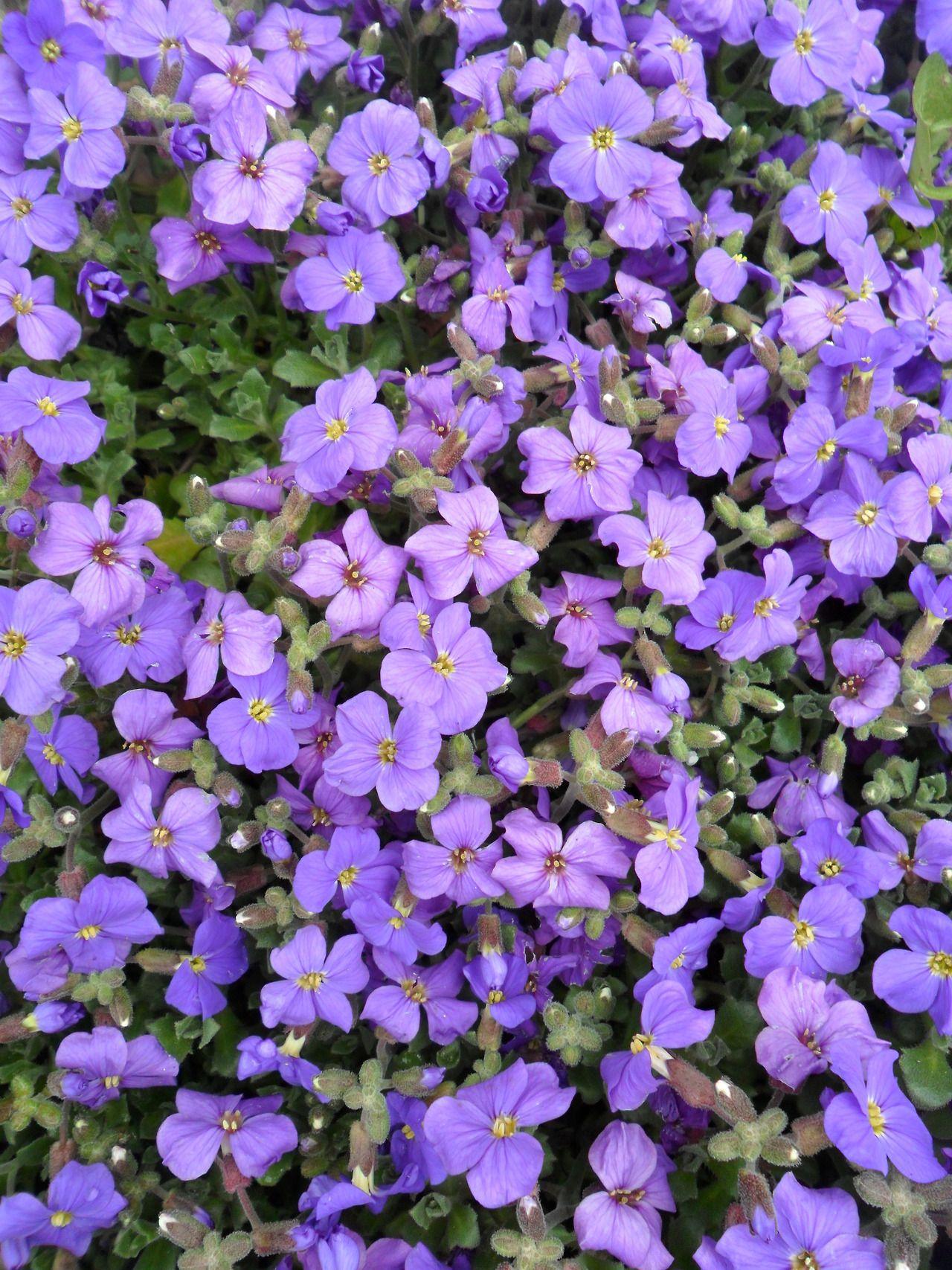 Purple flowering aubrietia just flowers pinterest