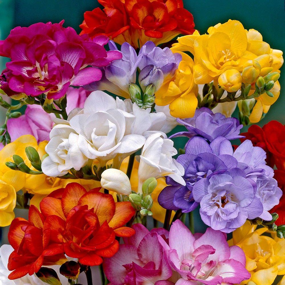 Glorious Colours Bulb Flowers Bonsai Flower Freesia Flowers