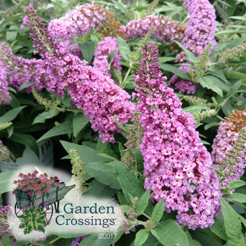 Pugster Pink Buddleia Our Videos Butterfly Bush Dwarf