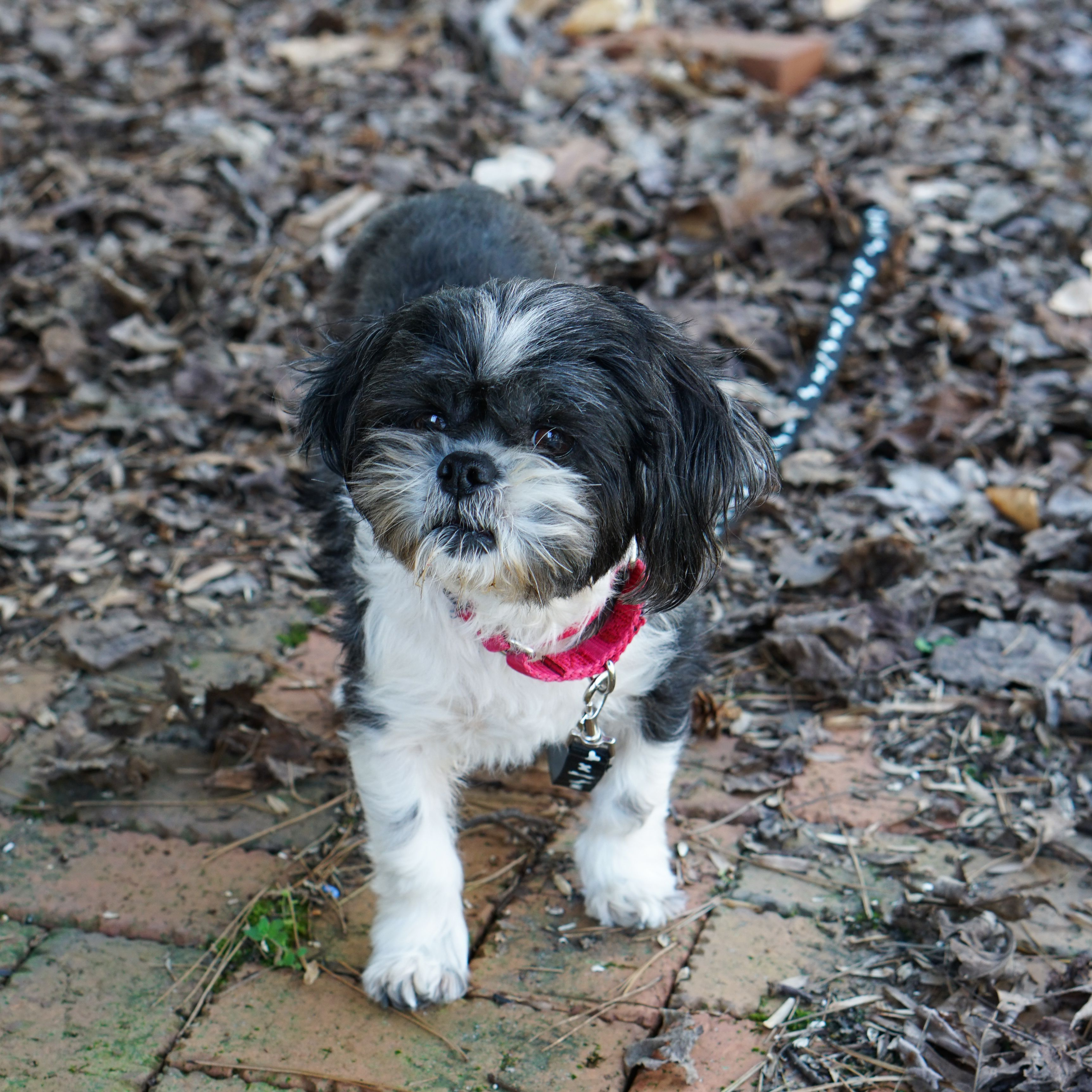 Adopt Domino On Shih Tzu Dog Shih Tzu Pet Adoption