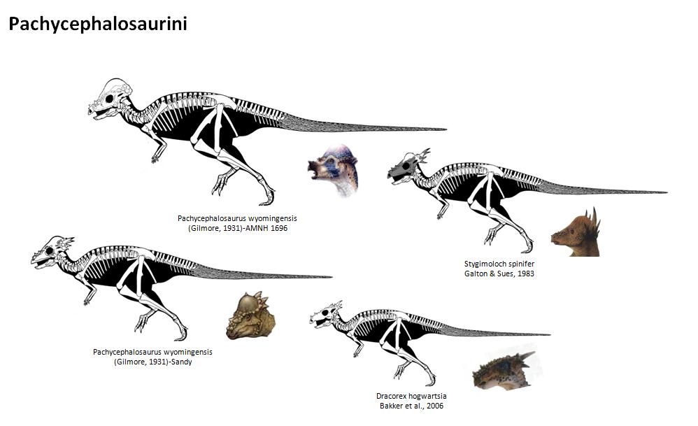 #Pachycephalosaurini #Stygimoloch #Dracorex # ...