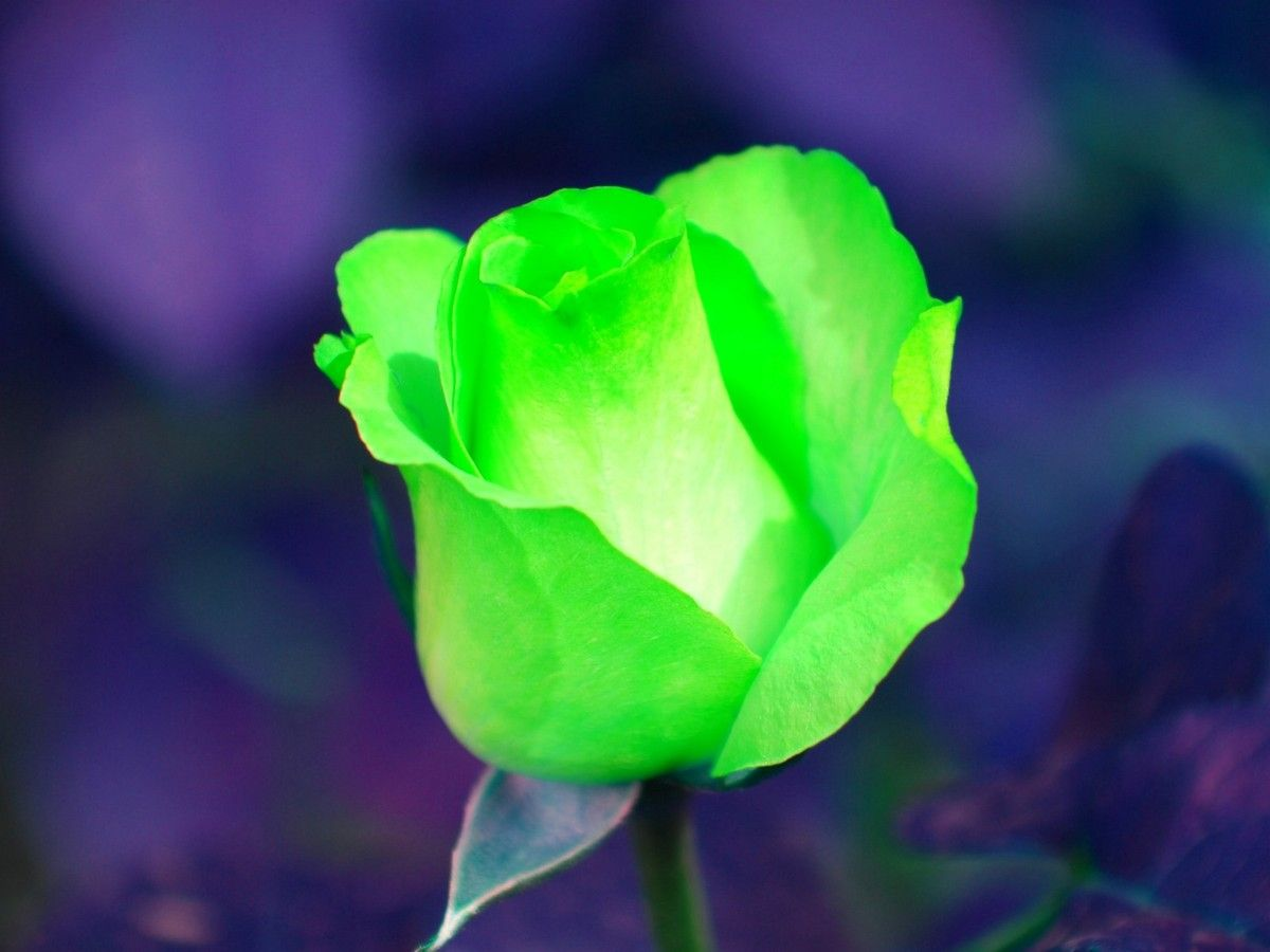 Картинки, картинки с зелеными розами