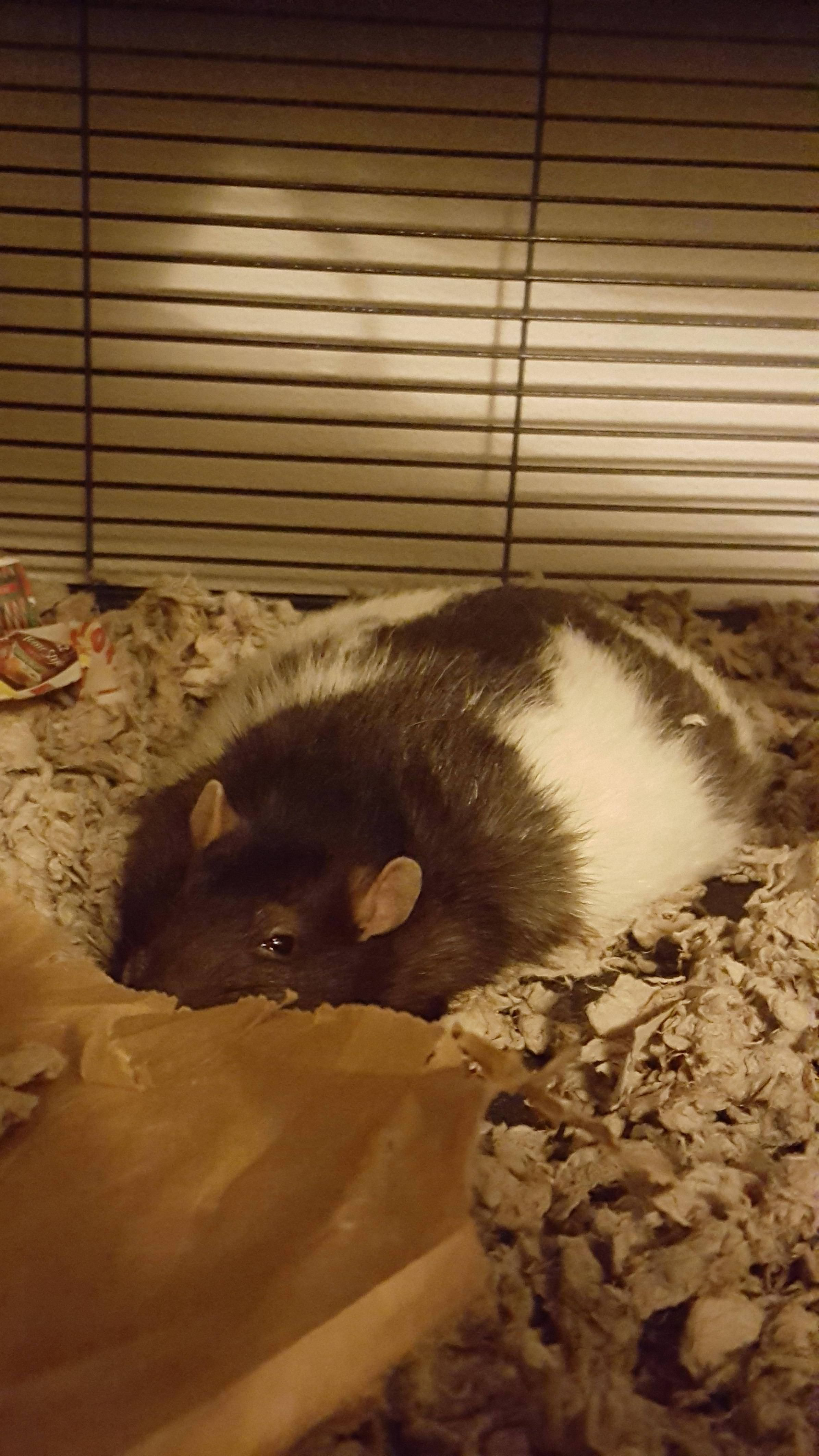 Meet Our Flat Rat Oscar Aww Cute Rat Cuterats Ratsofpinterest Cuddle Fluffy Animals Pets Bestfriend Ittssofluffy Cute Rats Small Pets Fancy Rat