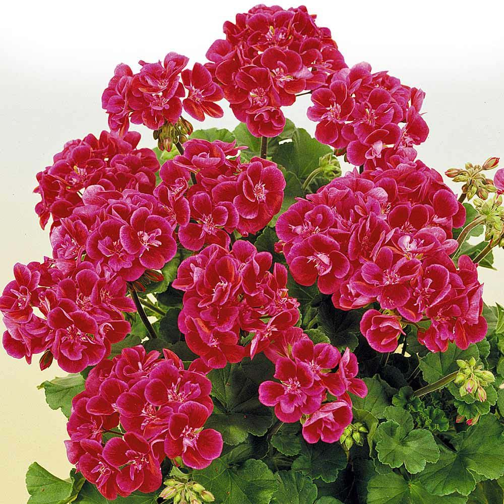 Geranium Hero - Double Flowering Geraniums - The Vernon Geranium Nursery : Geranium Hero is an upright growing geranium that will, without a doubt, brighten up any patio. Rich velvet magenta petals which are light pink around the edge and paler in the centre - so pretty. Ht 12-15ins.(EG Spring 2013)
